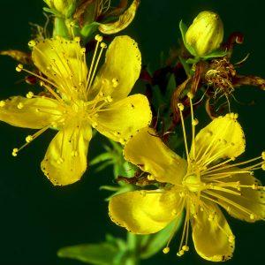 Joan's wort(Hypericum perforatum) - Best Herbs for Empaths