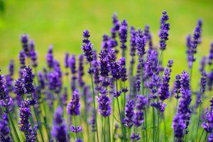 Lavender(Lavandula spp.) - Best Herbs for Empaths