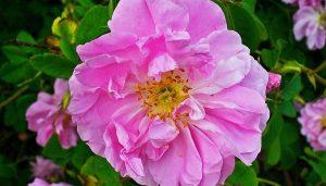 Rose(Rosa damascena) - Best Herbs for Empaths